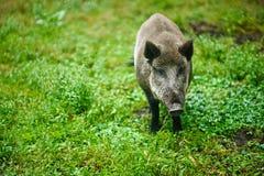 在绿色背景的野公猪  免版税库存照片
