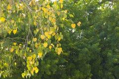 在绿色背景的金黄心脏叶子 免版税图库摄影