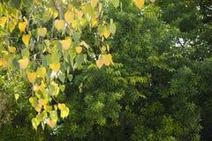 在绿色背景的金黄心脏叶子 库存图片