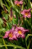 在绿色背景的黄花菜桃红色花在庭院里 免版税库存图片