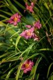 在绿色背景的黄花菜桃红色花在庭院里 免版税图库摄影
