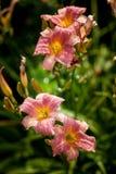 在绿色背景的黄花菜桃红色花在庭院里 免版税库存照片