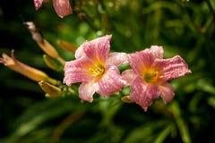 在绿色背景的黄花菜桃红色花在庭院里 图库摄影
