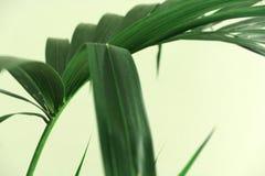 在绿色背景的Kentia棕榈叶 免版税库存照片
