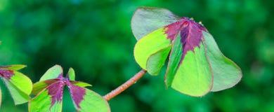 在绿色背景隔绝的四棵叶子三叶草 免版税库存图片