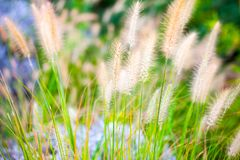在绿色自然的植物芦苇 免版税库存图片