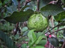 在绿色自然的番石榴 免版税库存照片