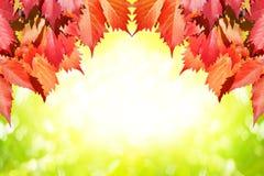 在绿色自然的红色枫叶弄脏了bokeh背景特写镜头,橙色少女葡萄叶子秋天庭院,秋季槭树 库存例证