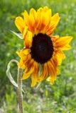 在绿色茎的黄色向日葵 库存照片