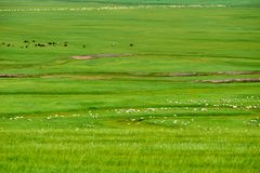 在绿色草原的白羊 免版税库存图片