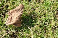 在绿色草坪的干叶子 免版税库存照片
