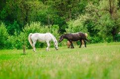 在绿色草坪的白色,黑和红色马 免版税库存照片