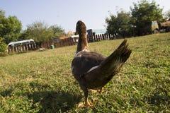 在绿色草坪的鸭子步行 两只鸭子在农场的绿色草坪走 关闭 鸭子 免版税图库摄影