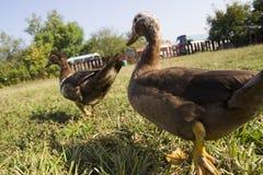 在绿色草坪的鸭子步行 两只鸭子在农场的绿色草坪走 关闭 鸭子 库存照片
