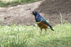 在绿色草坪走在一个晴天的雄伟椋鸟 库存照片
