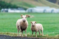 在绿色草甸的两只绵羊 免版税库存照片