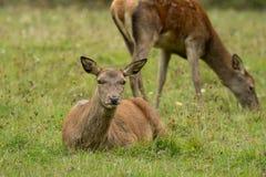 在绿色草甸的两头美丽的鹿 免版税图库摄影