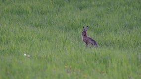 在绿色草甸的好奇野兔 股票录像