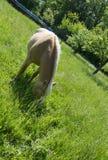 在绿色草甸的布朗公马 免版税图库摄影