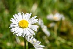 在绿色草甸的新鲜的雏菊花 免版税库存照片