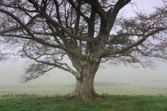 在绿色草甸的橡树早晨雾的 库存图片