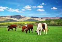 在绿色草甸的母牛。 免版税图库摄影