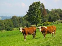 在绿色草甸的母牛 免版税库存照片