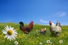 在绿色草甸的自由放养的鸡 免版税图库摄影
