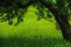 在绿色草甸的苹果树 免版税图库摄影