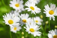 在绿色草甸的雏菊花 免版税库存照片