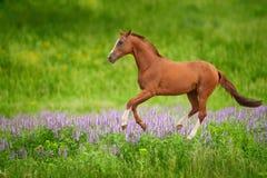 在绿色草甸的马 库存图片