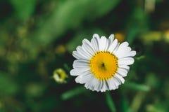 在绿色草甸背景的白色野生春黄菊花 免版税图库摄影