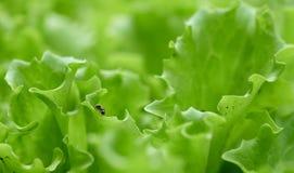 在绿色莴苣的蚂蚁在庭院里 库存图片