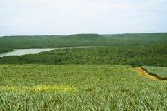 在绿色菠萝领域和山附近的土路道路 免版税库存图片