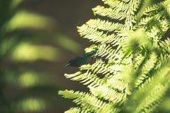 在绿色蕨叶子的美丽的闺女蜻蜓 图库摄影