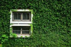 在绿色藤墙壁上的白色木窗口有拷贝空间的 热带 库存图片
