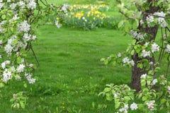 在绿色被弄脏的背景的开花的苹果树 免版税图库摄影