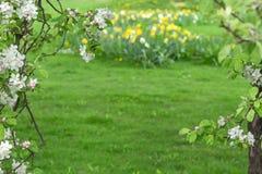 在绿色被弄脏的背景的开花的苹果树 免版税库存图片