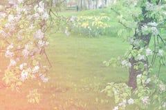 在绿色被弄脏的背景的开花的苹果树 图库摄影