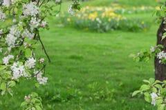 在绿色被弄脏的背景的开花的苹果树 库存照片