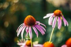 在绿色被弄脏的背景的明亮的美丽的桃红色花与bokeh 海胆亚目purpurea马格纳斯 医药有用的庭院 图库摄影