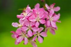 在绿色被弄脏的背景的桃红色花 库存图片