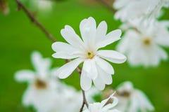在绿色被弄脏的背景的白花 免版税库存照片