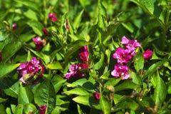 在绿色裤裆的被晒黑的紫罗兰色花很快将去 库存图片