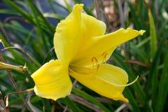 在绿色词根背景,百合的开花的唯一花 免版税库存照片
