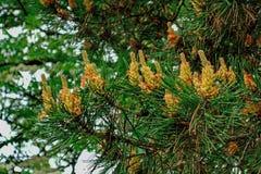 在绿色针中的芽在春天 库存照片