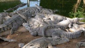 在绿色附近水的许多鳄鱼谎言  泥泞的沼泽的河 泰国 聚会所 股票视频