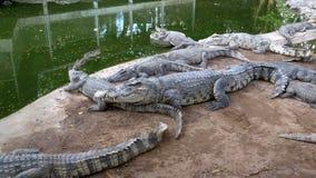 在绿色附近水的鳄鱼谎言  泥泞的沼泽的河 泰国 聚会所 股票录像