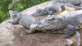 在绿色附近水的鳄鱼谎言  泥泞的沼泽的河 泰国 聚会所 股票视频