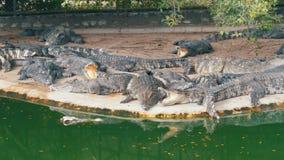 在绿色附近水的鳄鱼谎言  泥泞的沼泽的河 泰国 聚会所 影视素材